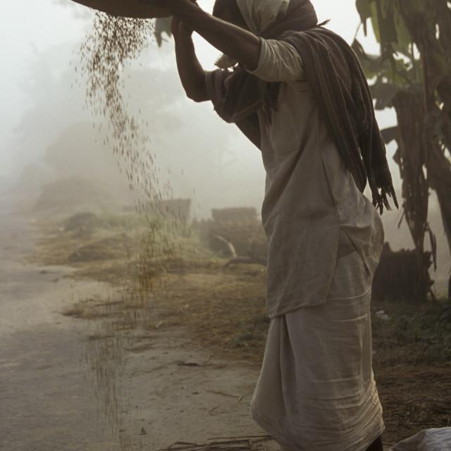 """""""Sifting grain, Vaishali-68451"""" stock image"""