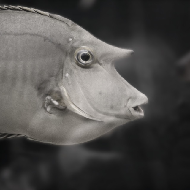 """Trigger Fish."" stock image"