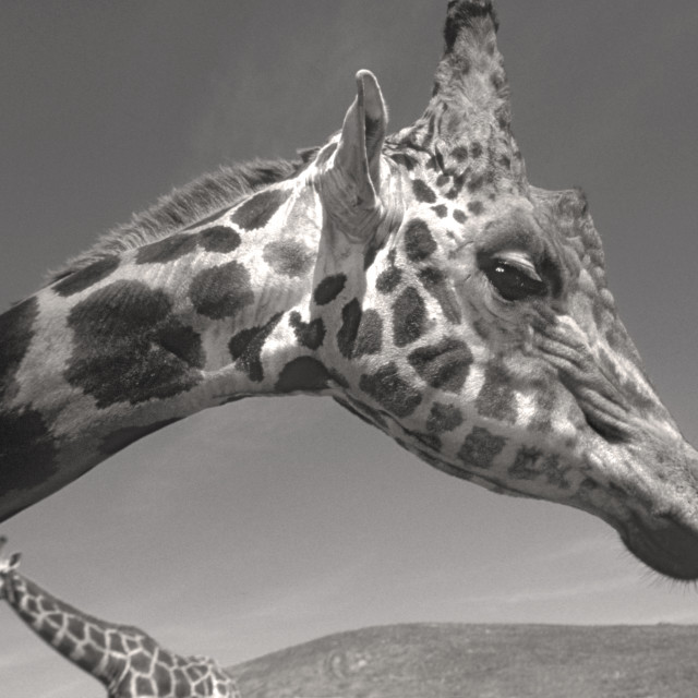 """Two giraffes"" stock image"