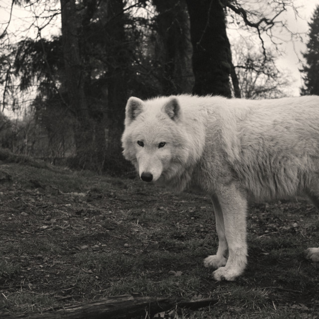"""White wolf"" stock image"