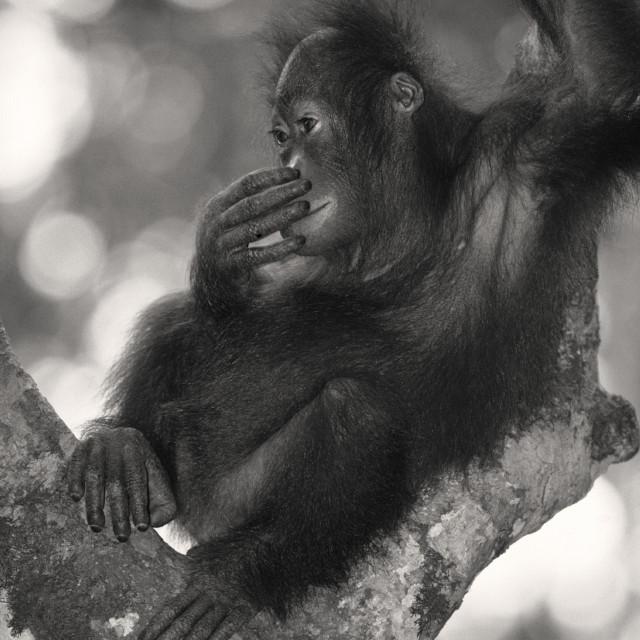 """""""Young orangutan"""" stock image"""