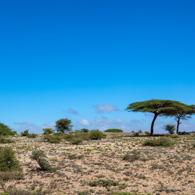 """""""Acacias trees in the sheikh mountains, Togdheer, Sheikh, Somaliland"""" stock image"""