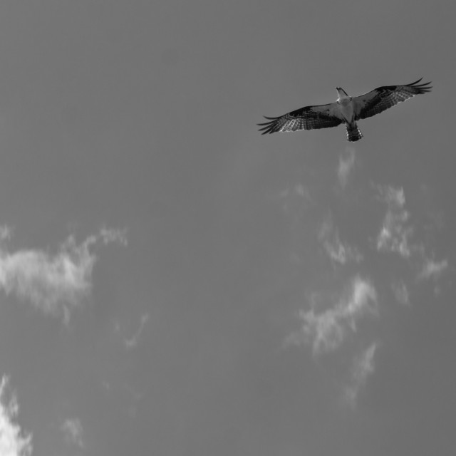 """Colorado osprey flying overhead with a few clouds. Monochrome"" stock image"