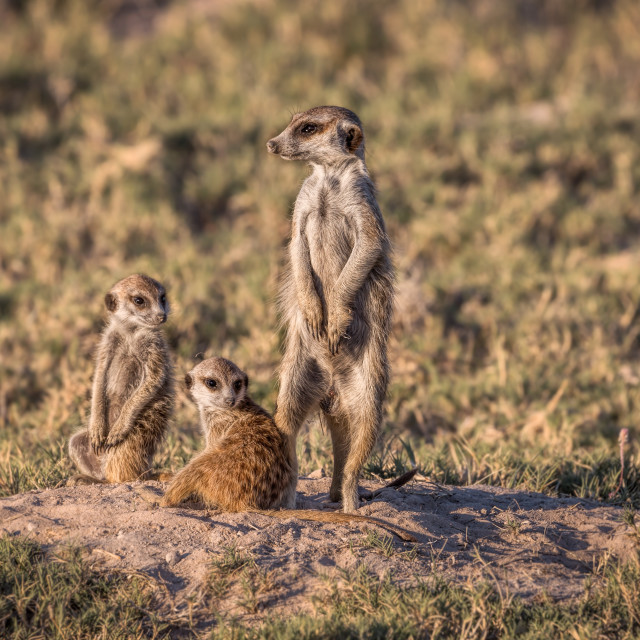 """Meerkat family"" stock image"