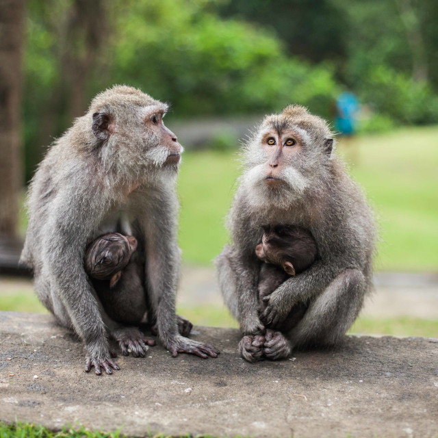 """Ubud Monkey Forest - Pair of Monkeys"" stock image"