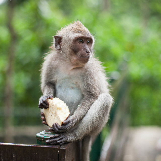 """Ubud Monkey Forest - Monkey eats an apple"" stock image"