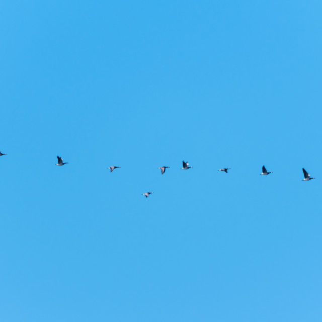 """""""Migrating geese in a row"""" stock image"""