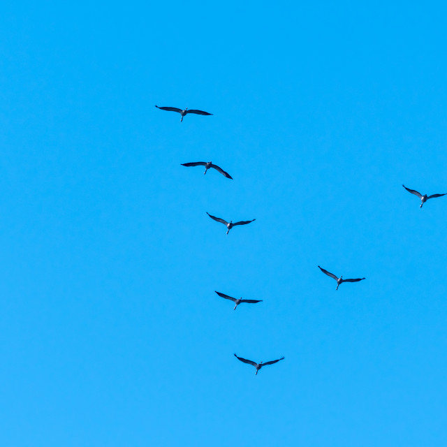 """""""Migrating Common Cranes in V formation"""" stock image"""