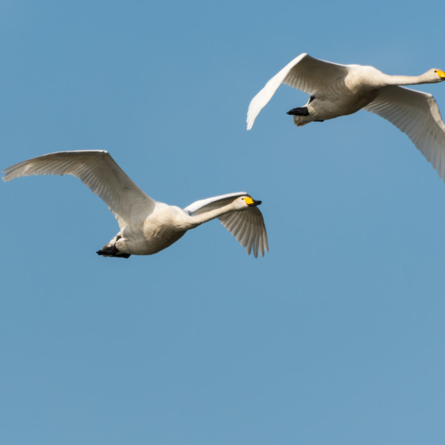 """Pair of flying white swans"" stock image"