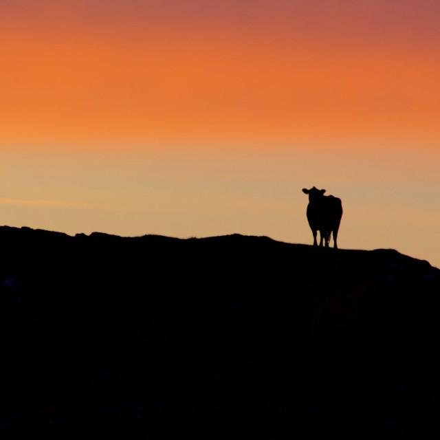 """Scottish cow silhouette"" stock image"