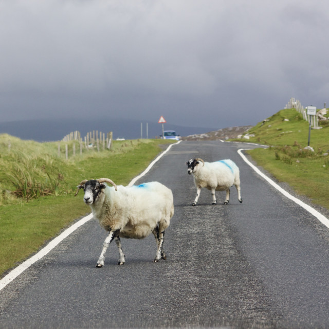 """Traffic on a Scottish Island. Sheep walk in to a single track road on the Isle of Harris"" stock image"