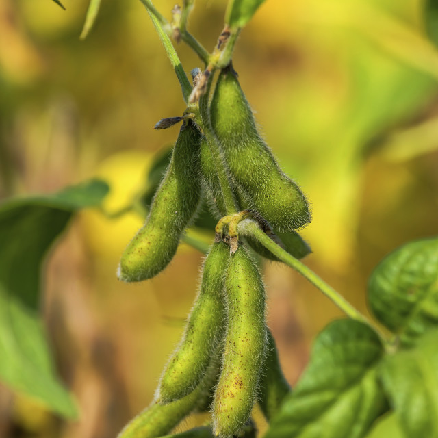 """""""Soybean pods"""" stock image"""