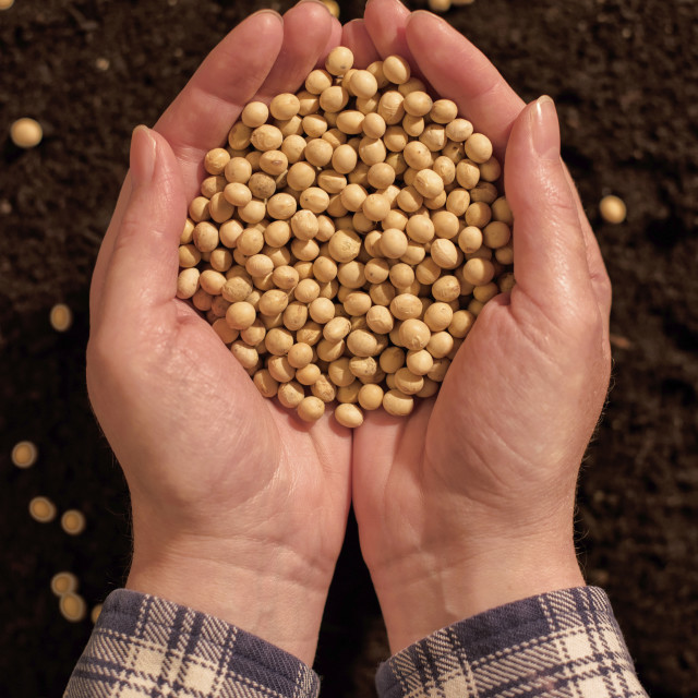 """""""Harvested soybean in hands"""" stock image"""
