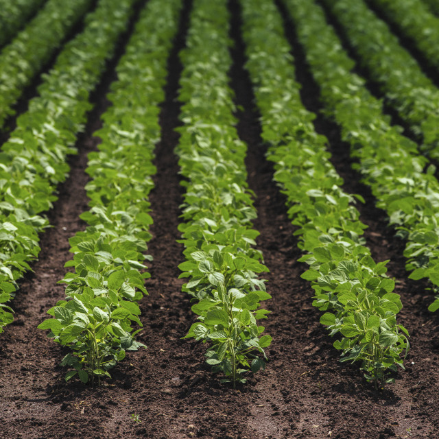 """""""Rows of cultivated soybean plants"""" stock image"""