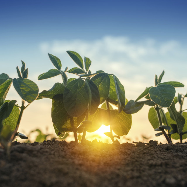 """""""Sunrise over soybean field"""" stock image"""