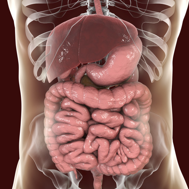 """""""Illustration of the human digestive system"""" stock image"""