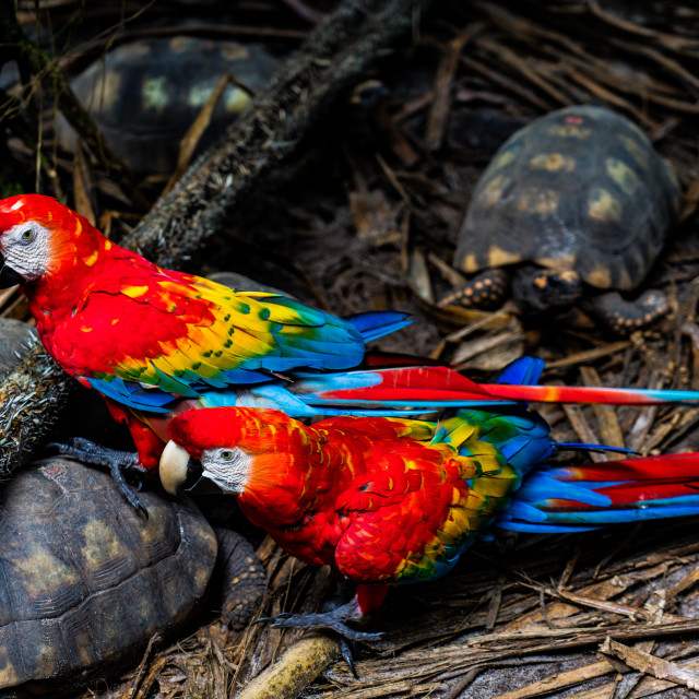 """""""Red Macaws walking on turtles in the rainforest of Iquitos, Peru"""" stock image"""