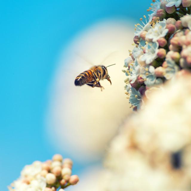 """Bee flying on flowers"" stock image"