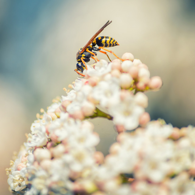 """Wasp on white flowers"" stock image"