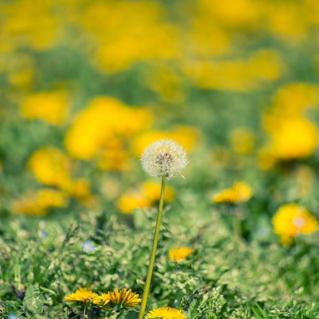 """Dandelion flowers"" stock image"
