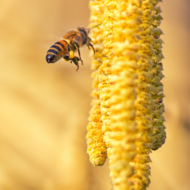 """The bee and the hazel flowers"" stock image"