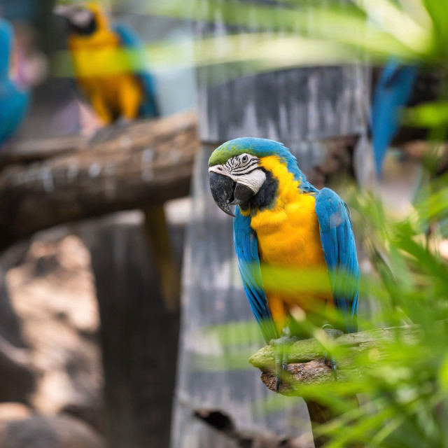 """Colorful blue macaw parrot bird"" stock image"