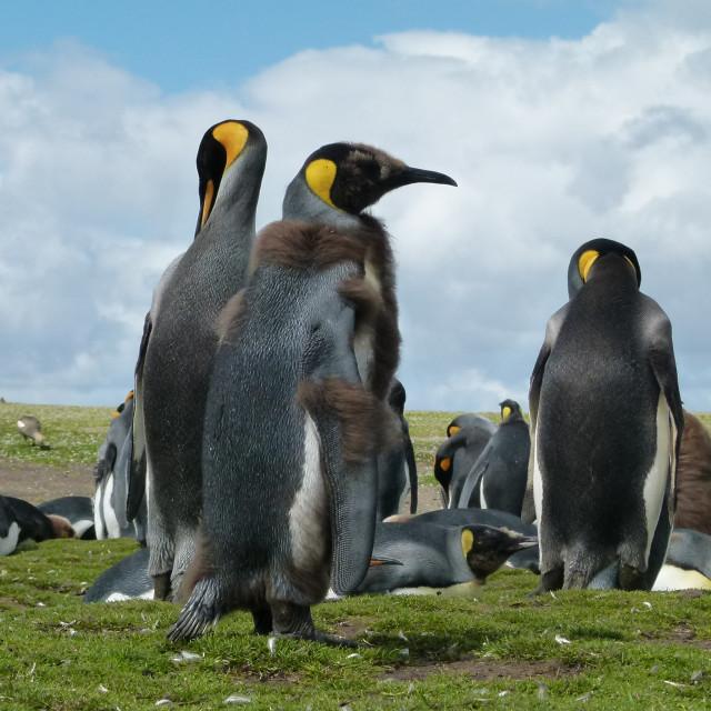 """Penguin Moult"" stock image"