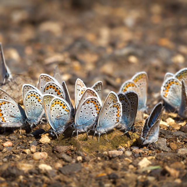 """Many pretty gossamer-winged butterflies resting together"" stock image"
