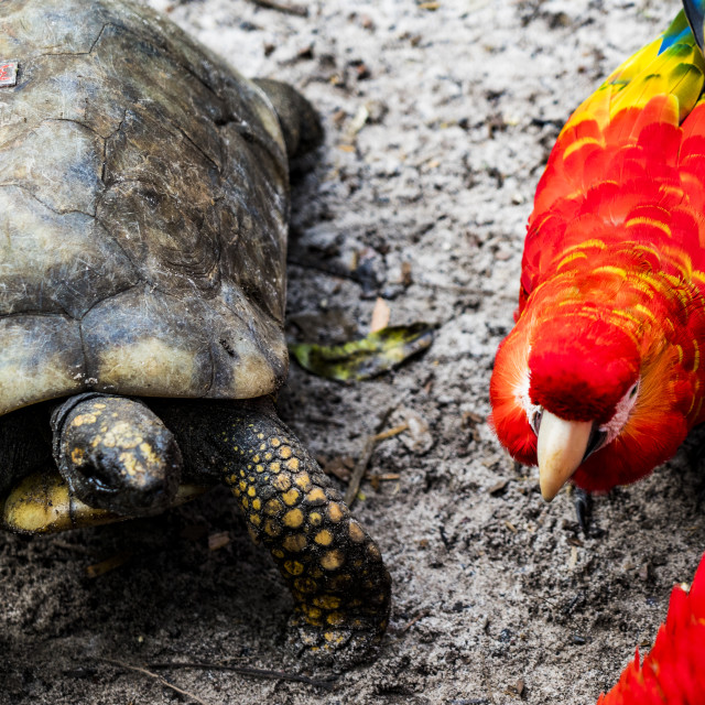 """Turtles & Macaws in peruvian Amazon, Iquitos, Loreto, Peru"" stock image"