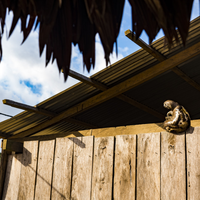 """Sloth on house in Amazonian community"" stock image"