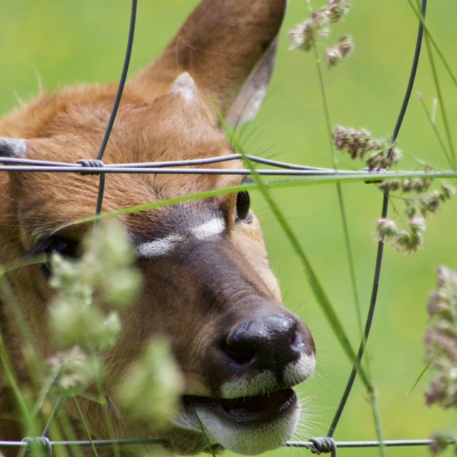"""Visayan Spotted Deer"" stock image"