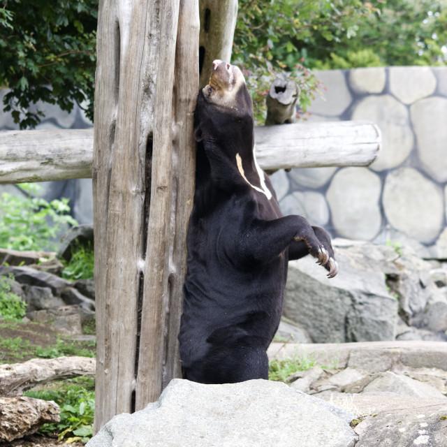 """""""Malayan Sun Bear scratching its back"""" stock image"""