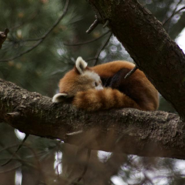 """Red Panda asleep"" stock image"