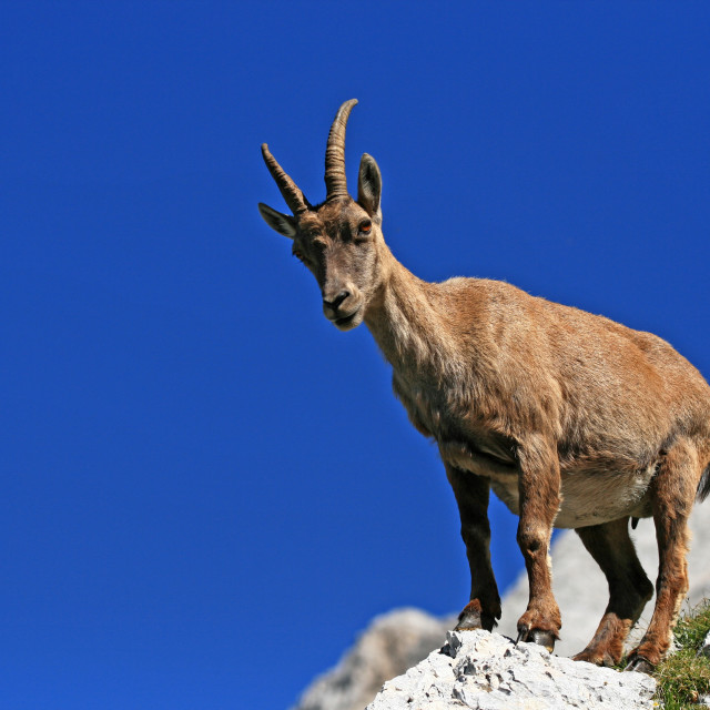 """The Alpine ibex"" stock image"