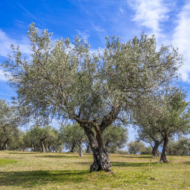 """Olive grove"" stock image"