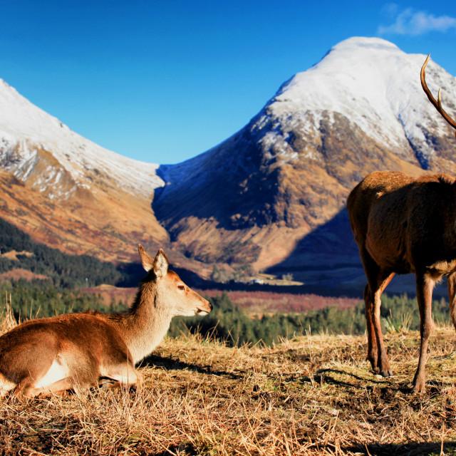 """Wild Stag & Deer"" stock image"