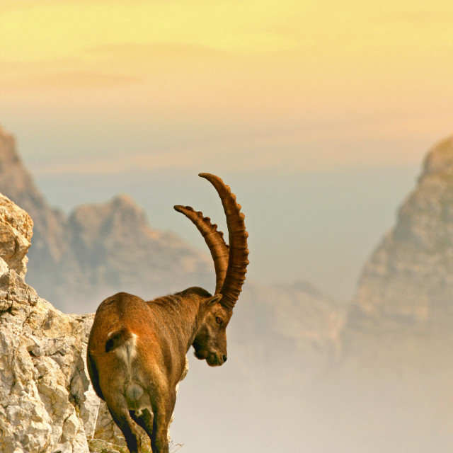 """""""The Alpine ibex"""" stock image"""