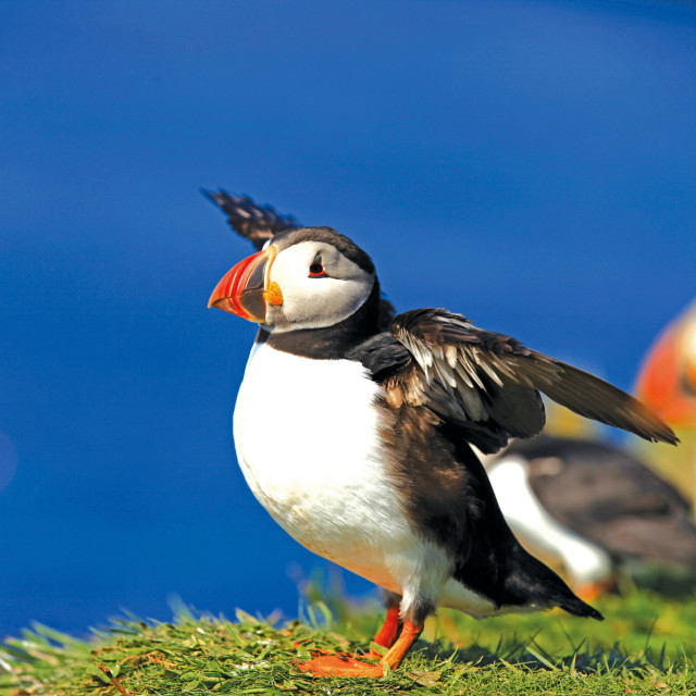 """Puffins"" stock image"
