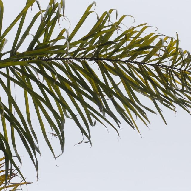 """Palm Tree Leaf Close Up"" stock image"