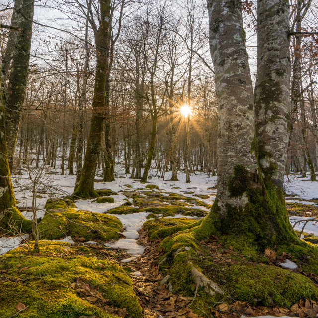 """""""Winter Forest at sunset"""" stock image"""