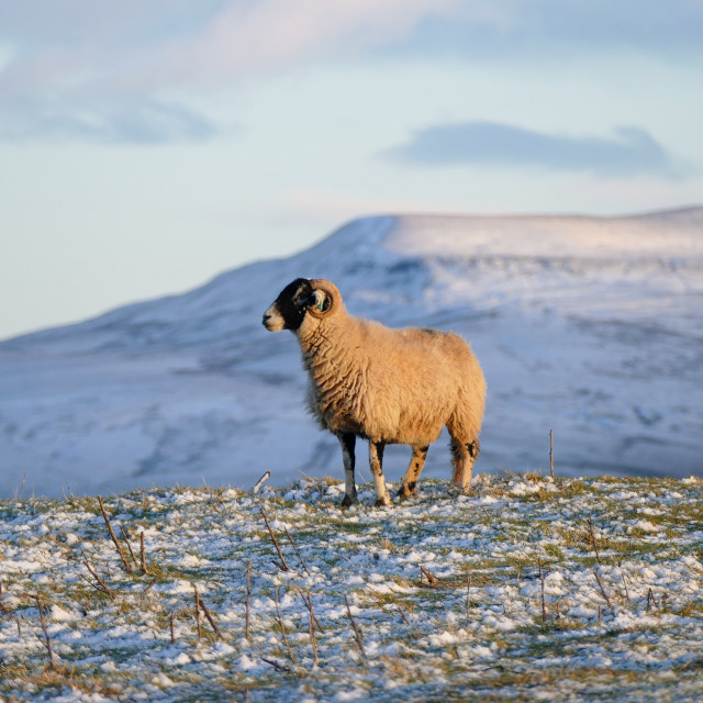 """Swaledale Sheep - Mallerstang"" stock image"