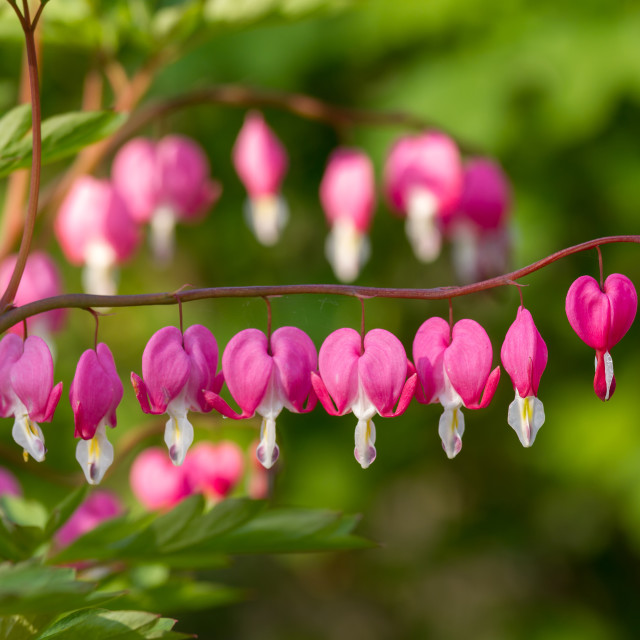 """""""Heart shaped flowers in the garden"""" stock image"""