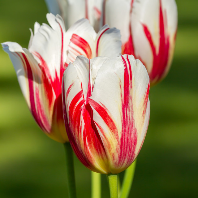 """Striped color tulips in springtime"" stock image"