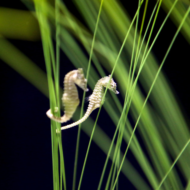 """Seahorse"" stock image"