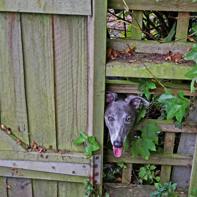 """Whippet Looking Through a Fence"" stock image"