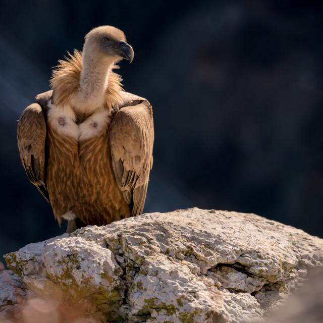 """""""A close up portrait of a griffon vulture"""" stock image"""