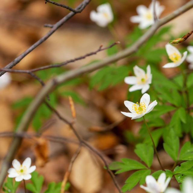 """""""White field flowers"""" stock image"""