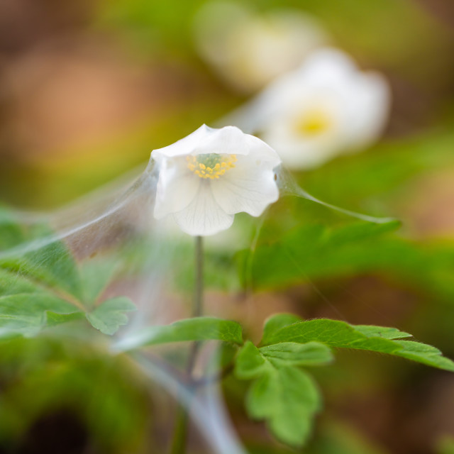 """""""White flowers covered with spider web 6"""" stock image"""