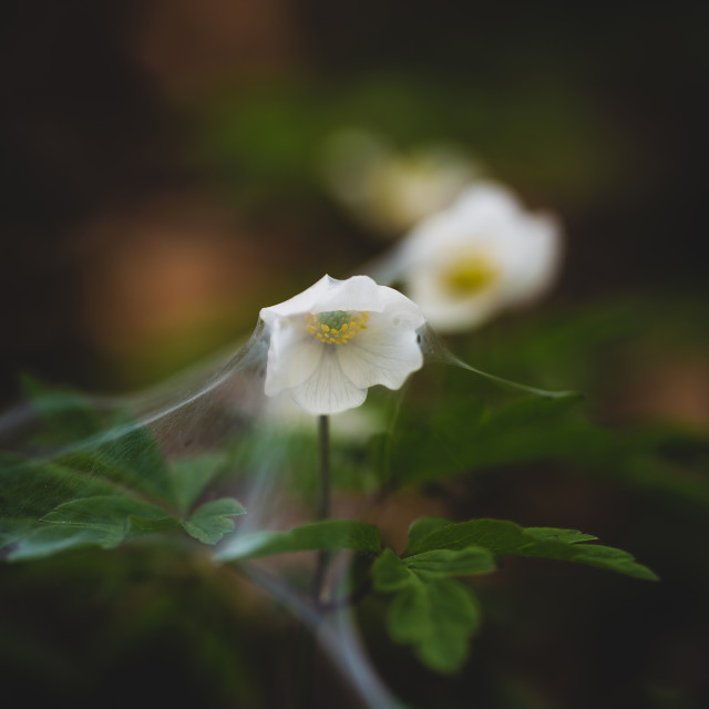 """""""White flowers covered with spider web 5"""" stock image"""