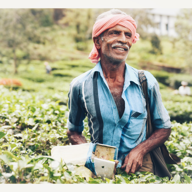 """Tea picking in India"" stock image"